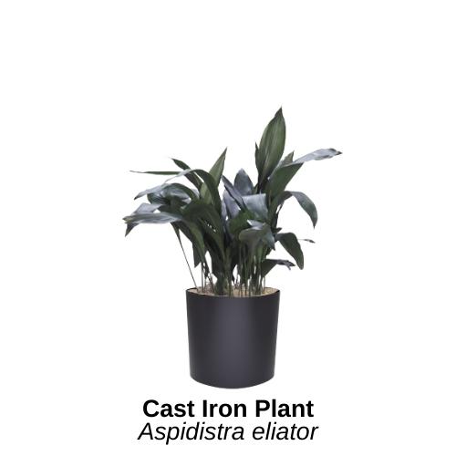 https://0201.nccdn.net/4_2/000/000/060/85f/cast-iron-plant.png