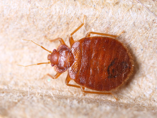 Parasitic bed bug