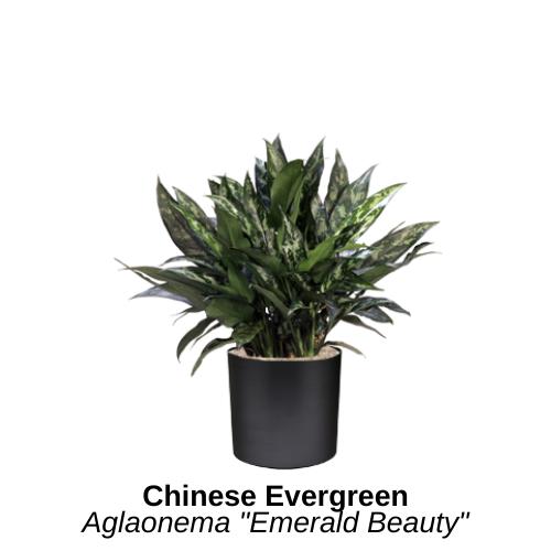 https://0201.nccdn.net/4_2/000/000/064/d40/chinese-evergreen.png