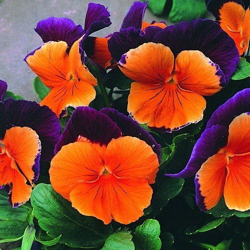 Pansy Jolly Joker