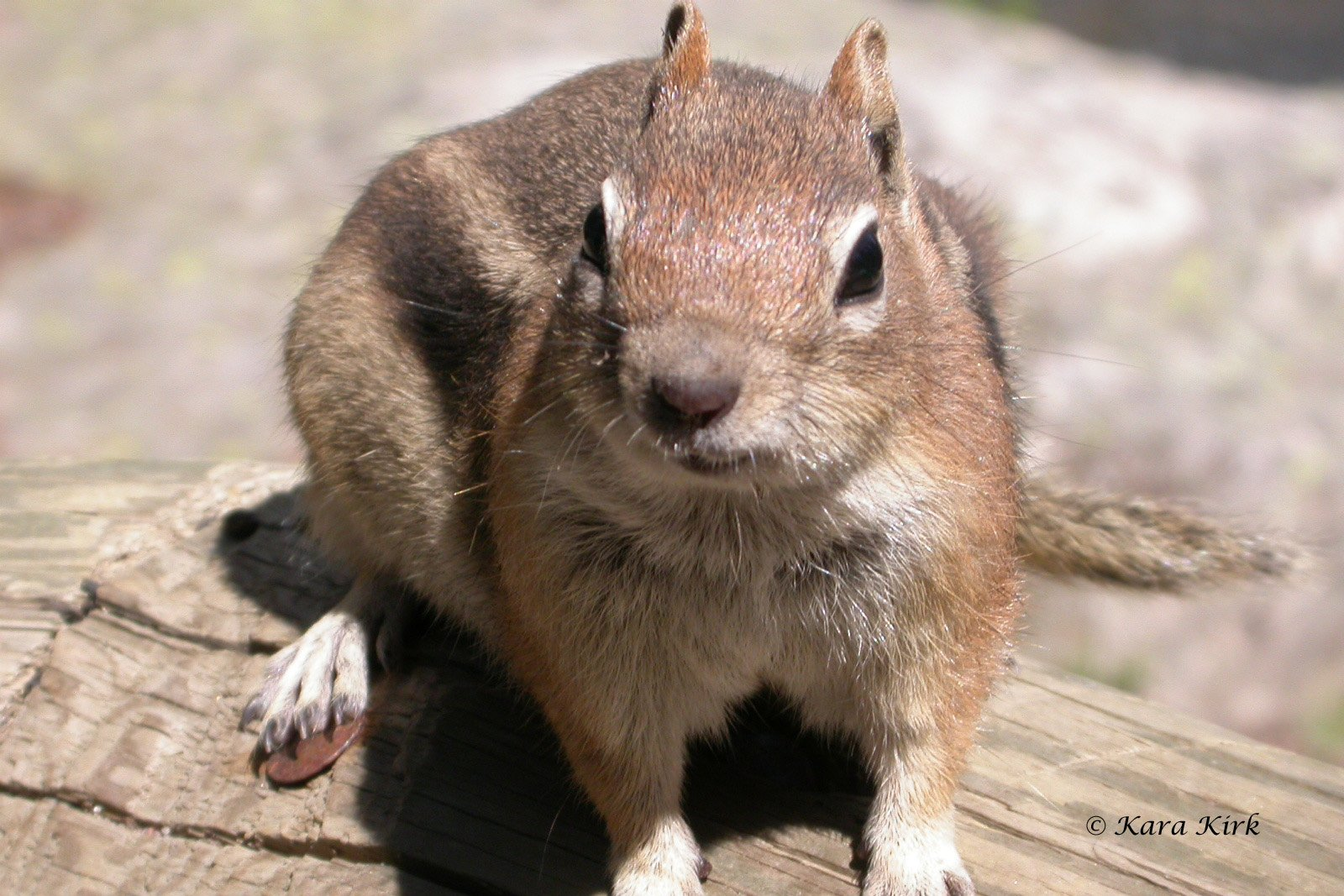 https://0201.nccdn.net/4_2/000/000/06b/a1b/Bear-Lake-Ground-Squirrel-37-08-08-04-4x6-1600x1067.jpg