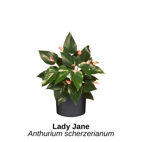 https://0201.nccdn.net/4_2/000/000/06b/a1b/lady-jane.png