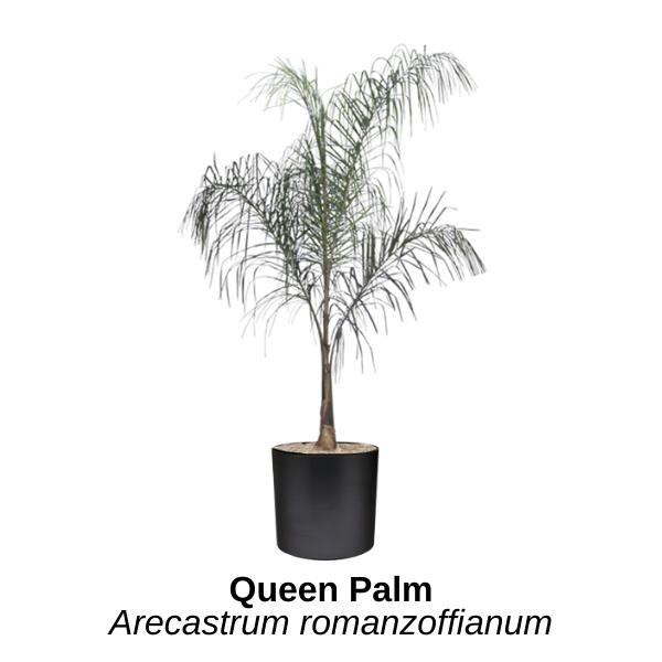 https://0201.nccdn.net/4_2/000/000/06b/a1b/queen-palm.png