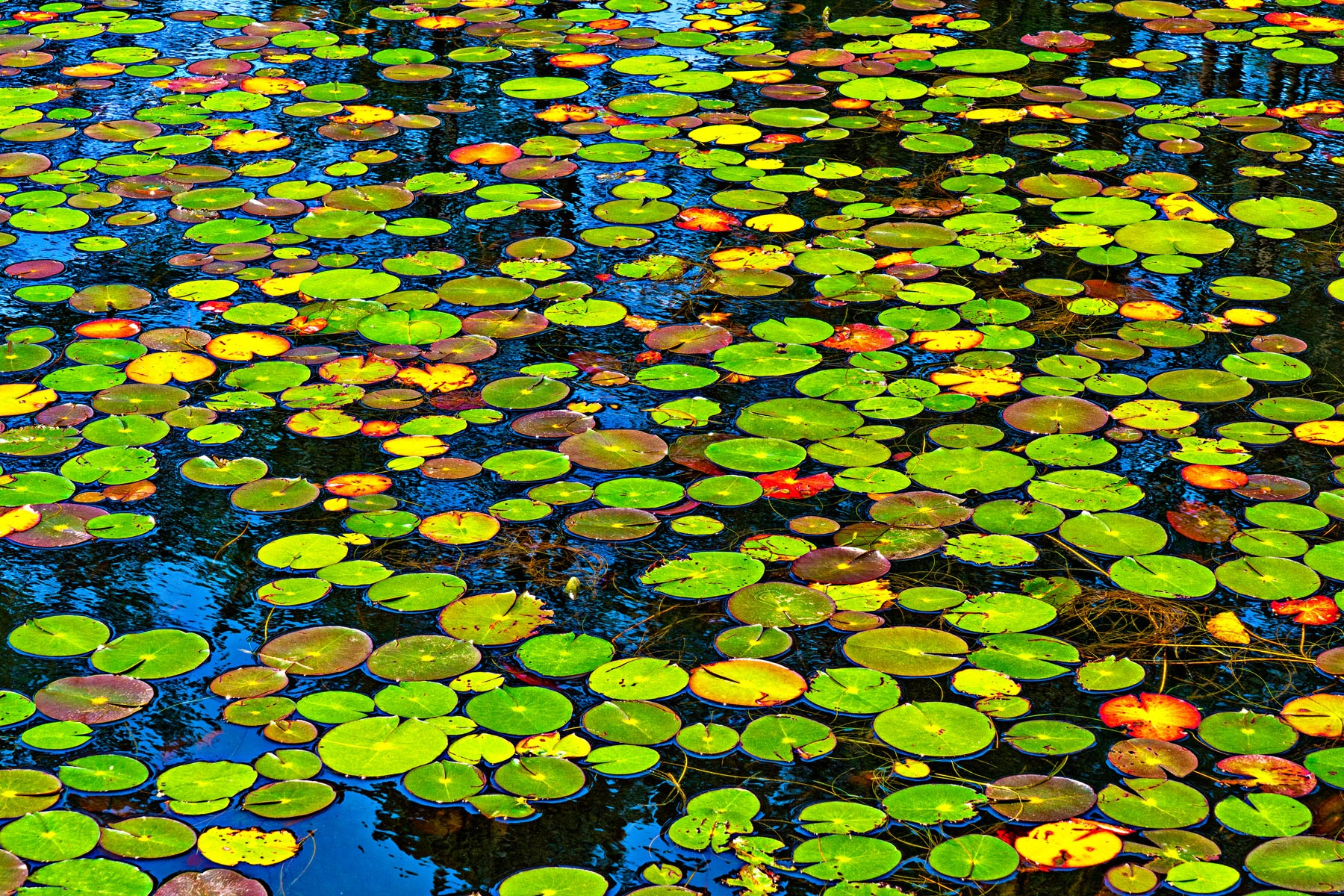"POLKA DOTS - I think this also could be titled ""Pac-Man Dodgeums"". Anyway, I passed this pond of lilyless lily-pads, and was taken by the assortment of  colors and how bright they were. I had to stop and shoot it. One of my favorites."