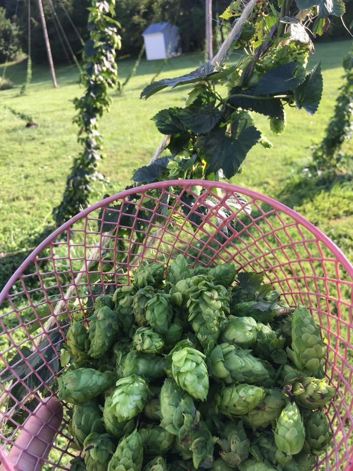 Cascade Hops Harvest