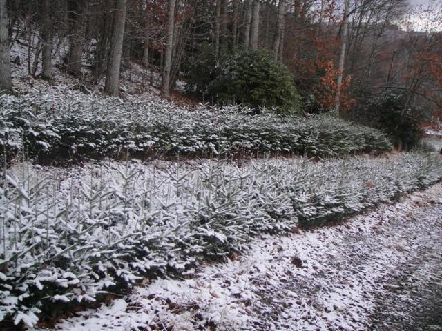 Rows of seedlings covered in snow.