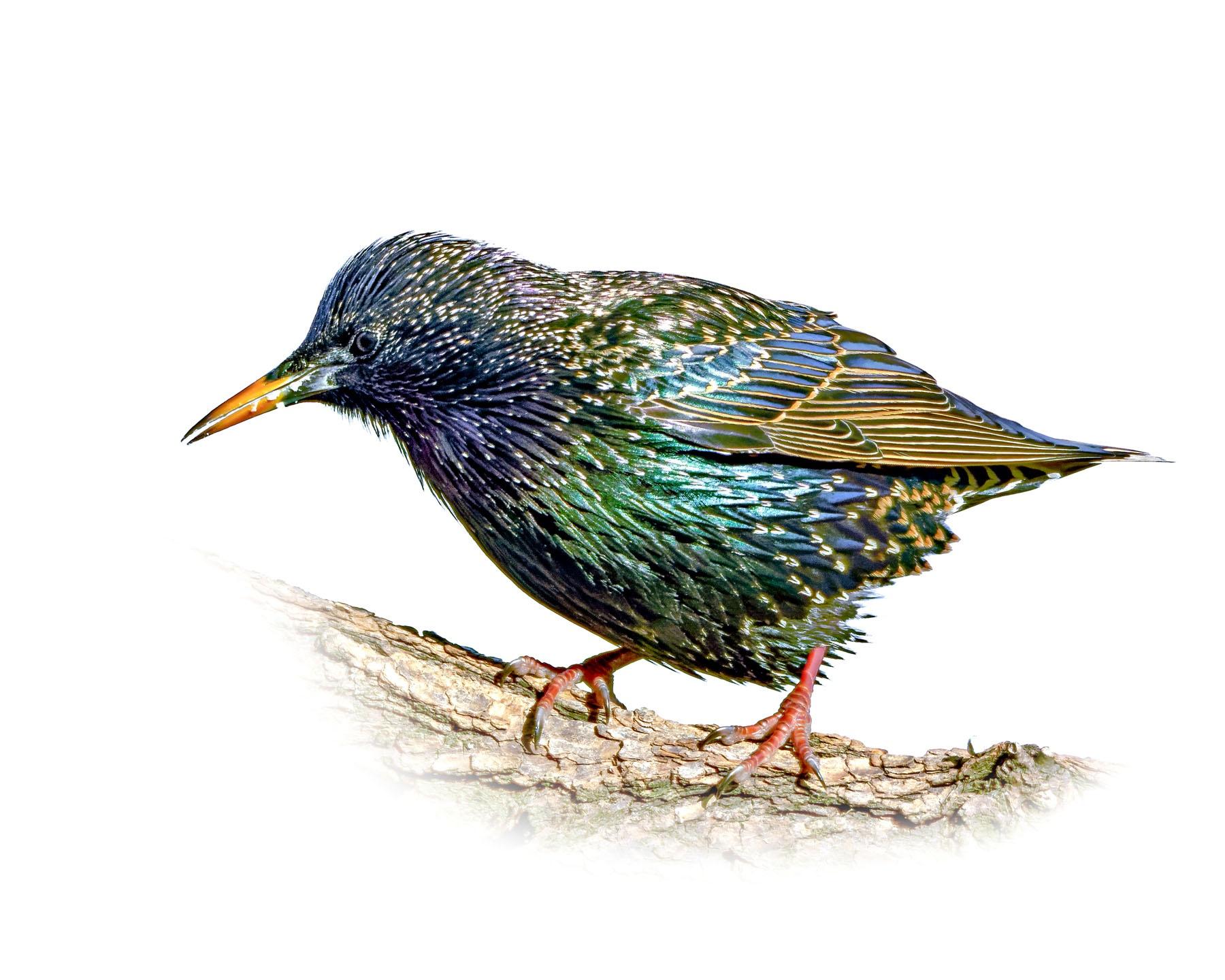 European Starling 3