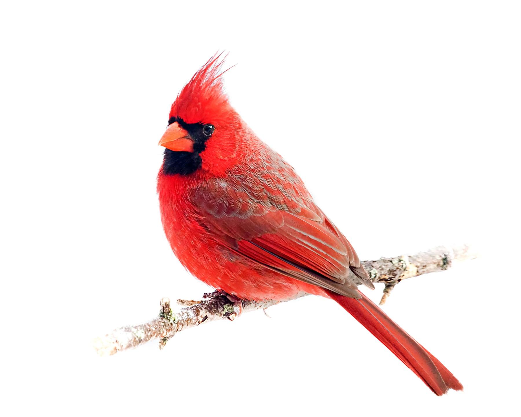 Northern Cardinal 19