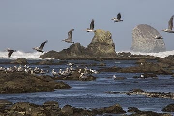 Pelicans near Yellow Banks, Olympic Coast