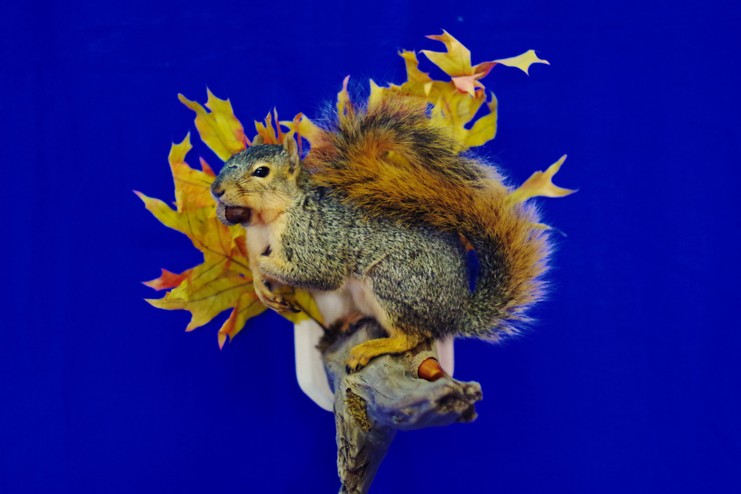 Fox squirrel sitting on wall mount - Saves Space!