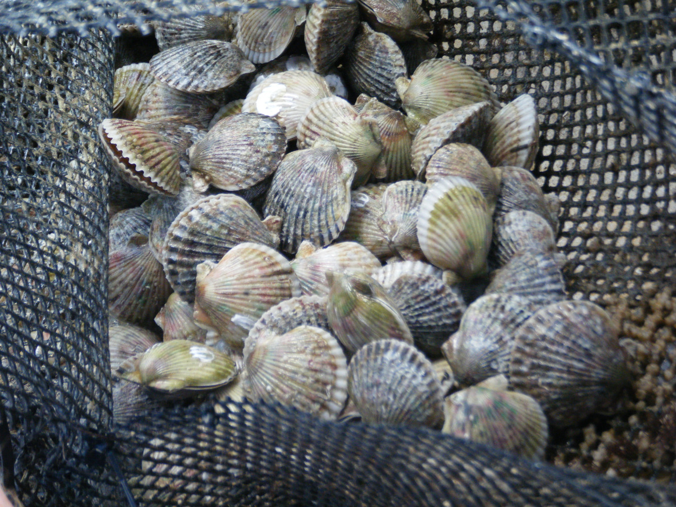 """""""THE COMMERCIALIZATION OF BAY SCALLOPS IN FLORIDA""""  A BAY SHELLFISH PROJECT FUNDED THROUGH ARC  THE PROJECT ANSWERED NECESSARY QUESTIONS TO MOVE THE FLORIDA BAY SCALLOP FROM POTENTIAL TO POSSIBLE  (Argopecten irradians)"""