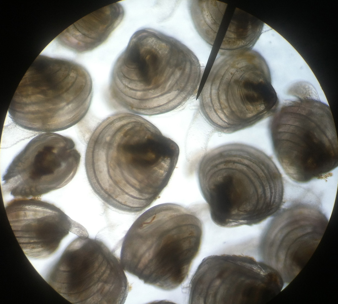 THE BEST BIVALVE SEED comes from AN UNDERSTANDING OF THE CULTURED SPECIES ADVANCED CONDITIONING METHODS, LEADING-EDGE  LARVAL REARING & ENVIRONMENTAL CONDITIONS NECESSARY FOR OPTIMUM HEALTH