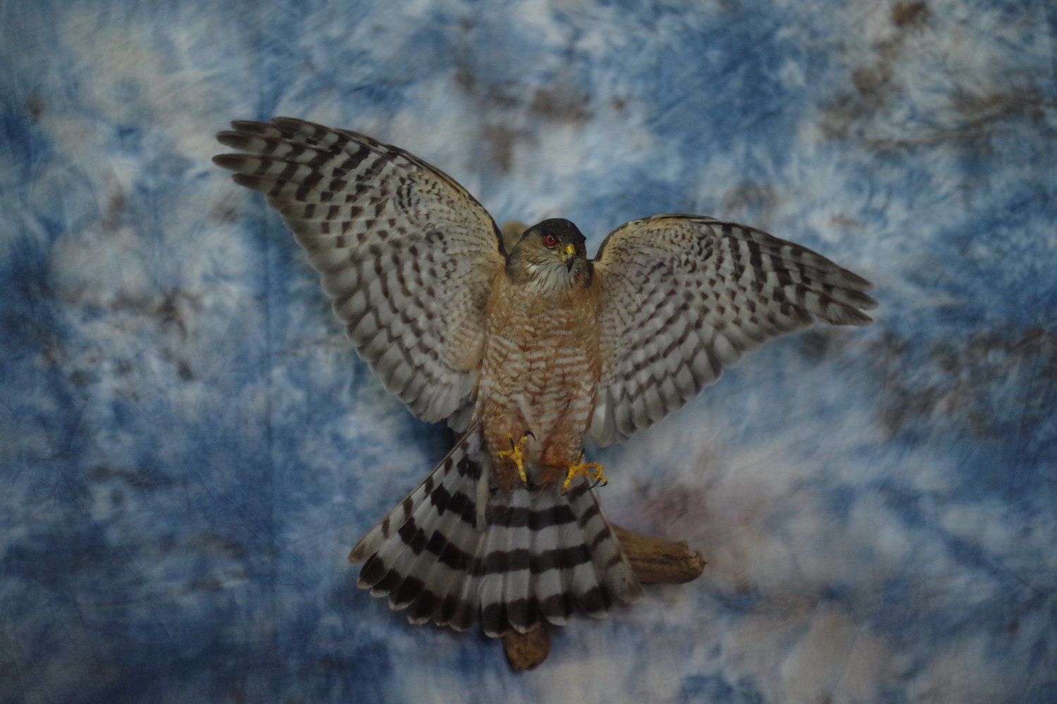 sharp shinned hawk done for the West Virginia DNR