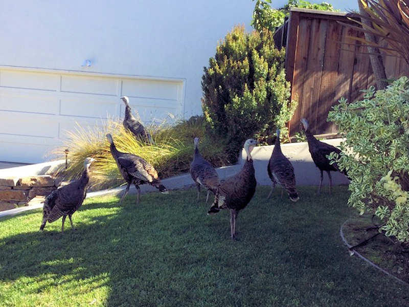 Wild turkeys regularly visit neighborhood yards reminding residents of the history of the area. In the 1920's, a pheasant hunting resort was located on Potomac Street in Lincoln Heights, catering to San Franciscans making weekend trips to the East Bay Hills. The current flock of turkeys nest on land now owned by Head Royce School.