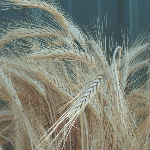Silver Tip Wheat