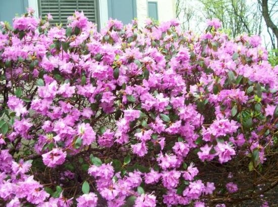 Blooming Shrubs