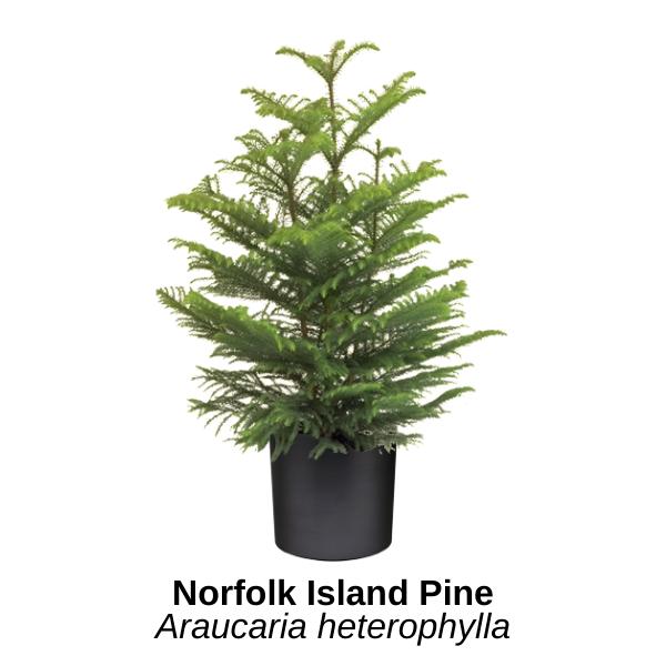 https://0201.nccdn.net/4_2/000/000/081/4ce/norfolk-island-pine.png