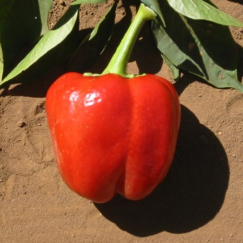 Pepper Keystone Resistant Giant #3