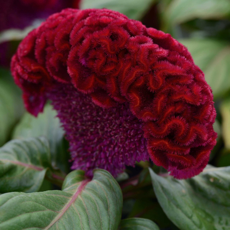 Celosia cristata, Concertina Red