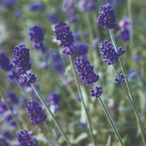 Lavender Vincenza