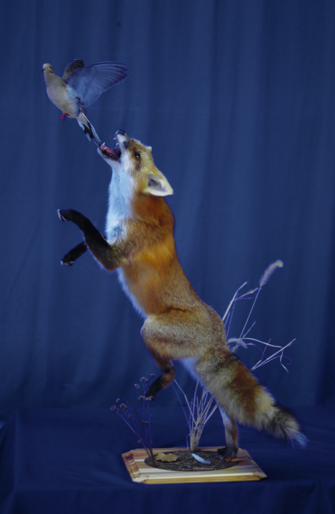 red-fox-jumping-after-dove