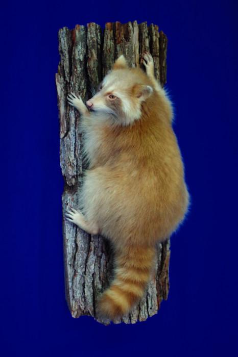 wild-cinnamon-raccoon