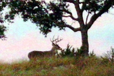 Deer and Tree
