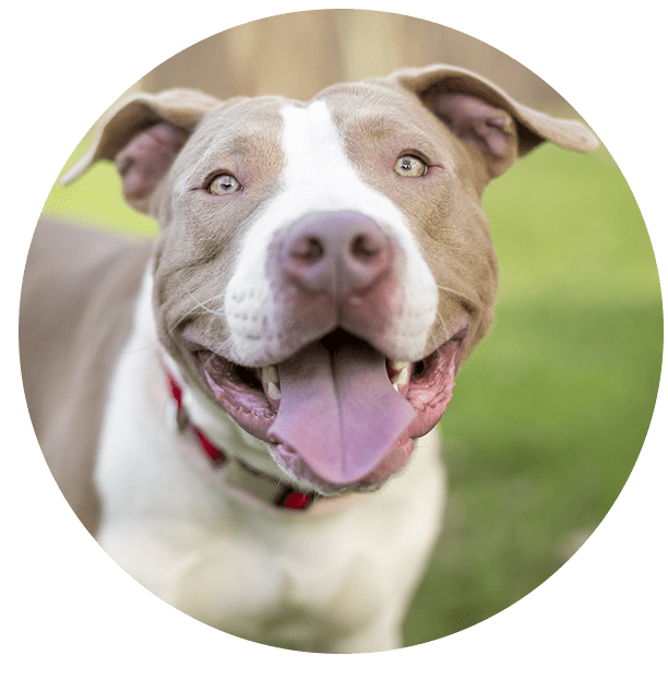 Portrait Of A Smiling Pit Bull