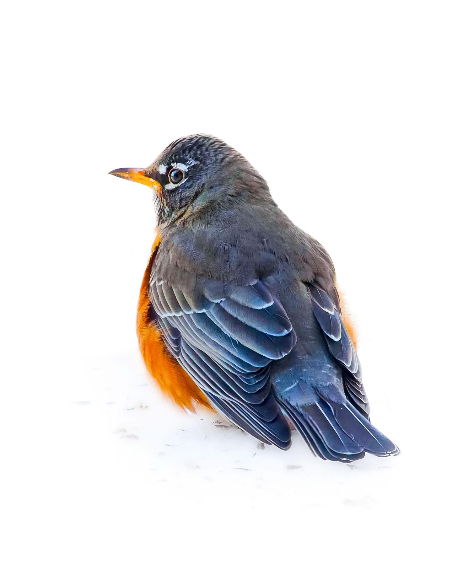 American Robin 4