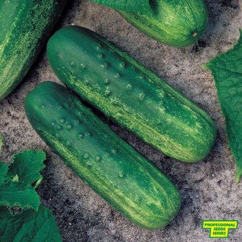 Cucumber Vasstar